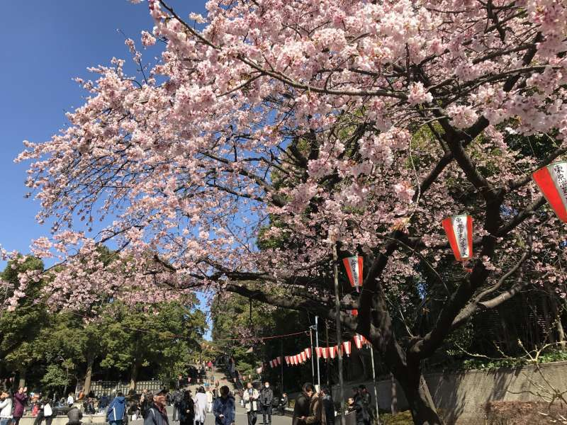 Cherry Blossoms are in full bloom at Ueno Park