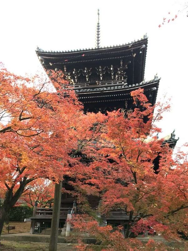 Stunning colorful maple leaves in November in Kyoto.