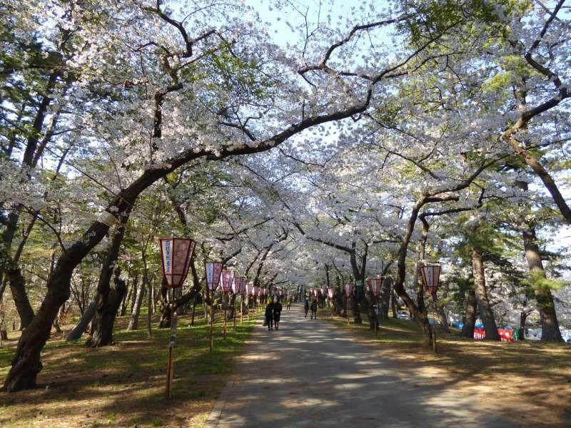 Cerisiers du Parc Ashino