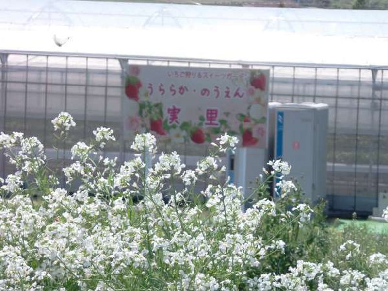 Strawberry farm in Sanda, north of Kobe