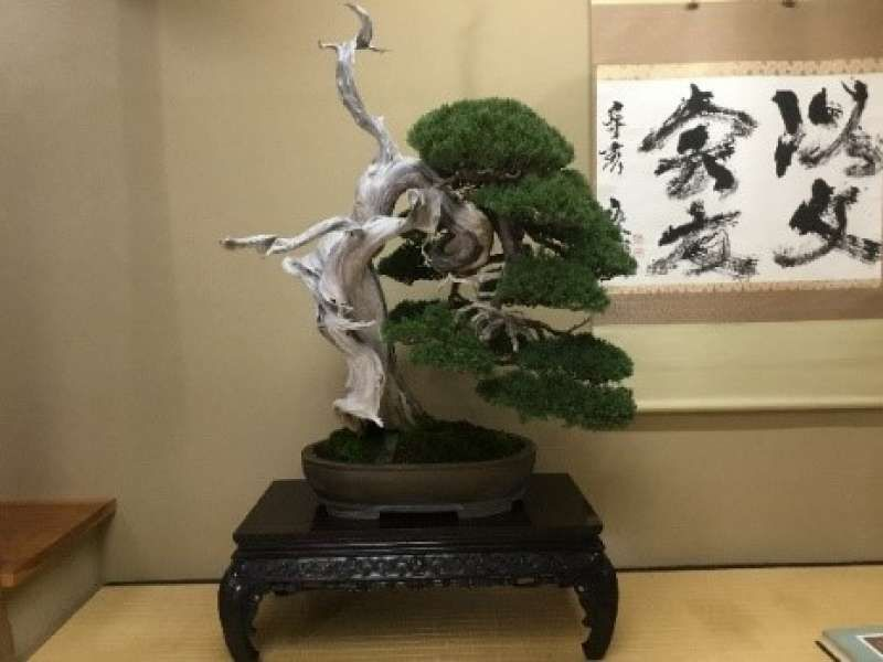 One of the Japanese traditional culture and symbol known as Bonsai in Saitama