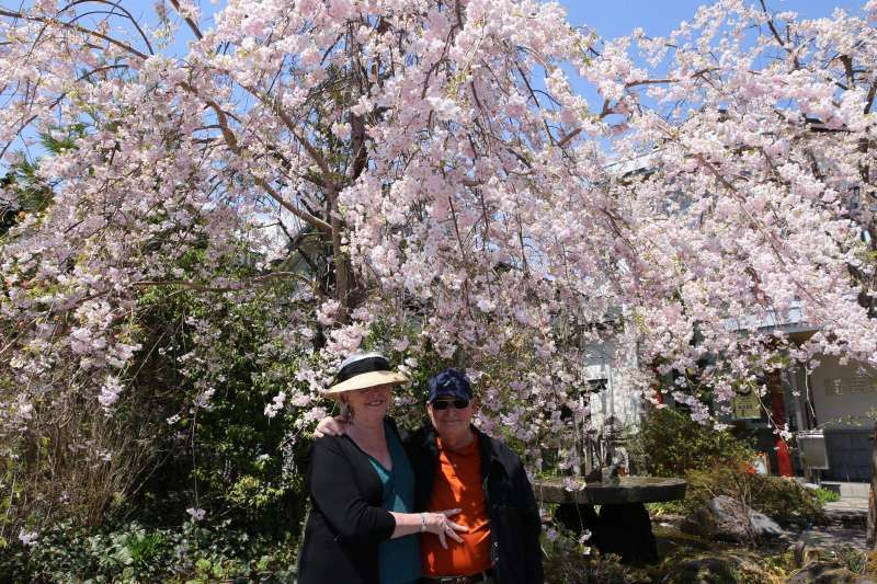 Weeping Cherry Blossoms in Nikko.  The blooming time of weeping cherry trees is usually later than other cherry, and therefore, you can enjoy various cherry blossoms for a long time in Spring.  .