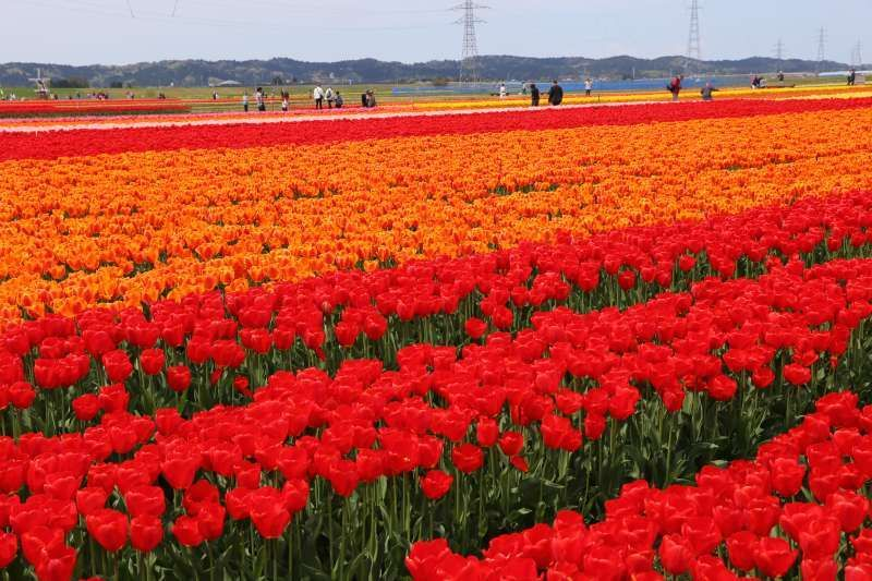 Tulip field in Niigata.  Niigata is the number one producer of cut tulips and the number two producer of tulip bulbs in Japan.