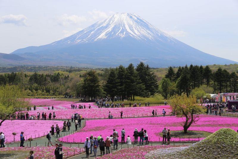 Mt.Fuji and shiba-zakura flowers in May.