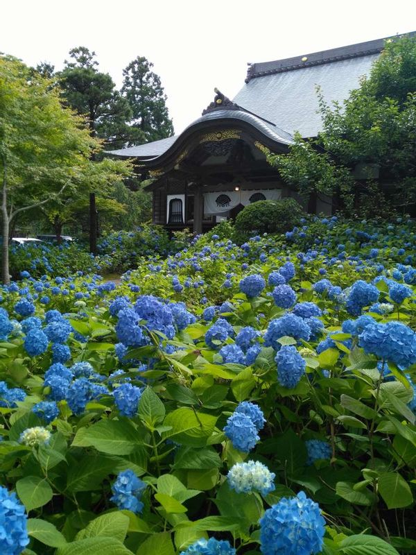 Unsho-ji Temple in Oga Peninsula, Akita.  Full of hydrangeas and jazz note and scent of coffee fill the Buddhist temple.