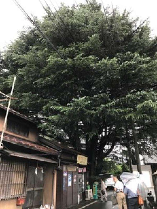 Keyaki ceder tree at Yanaka.