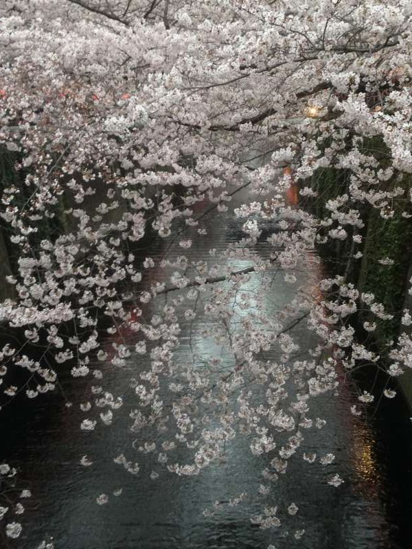 Cherry blossoms at Nakameguro