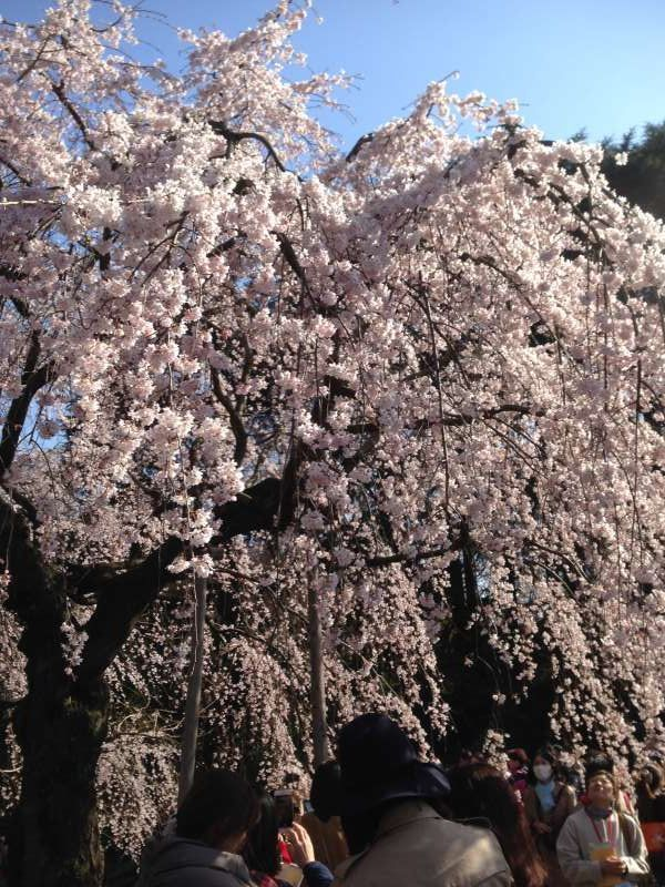 Cherry blossoms at Shinjuku Goen park