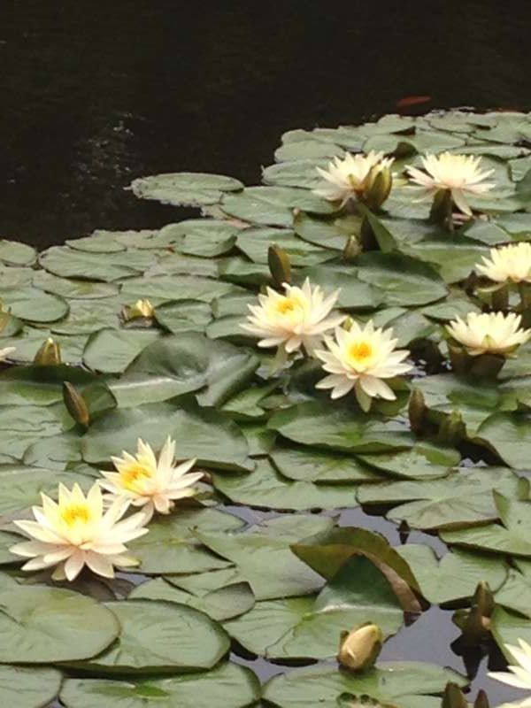 Lotus flower at Meiji Shrine Inner Garden