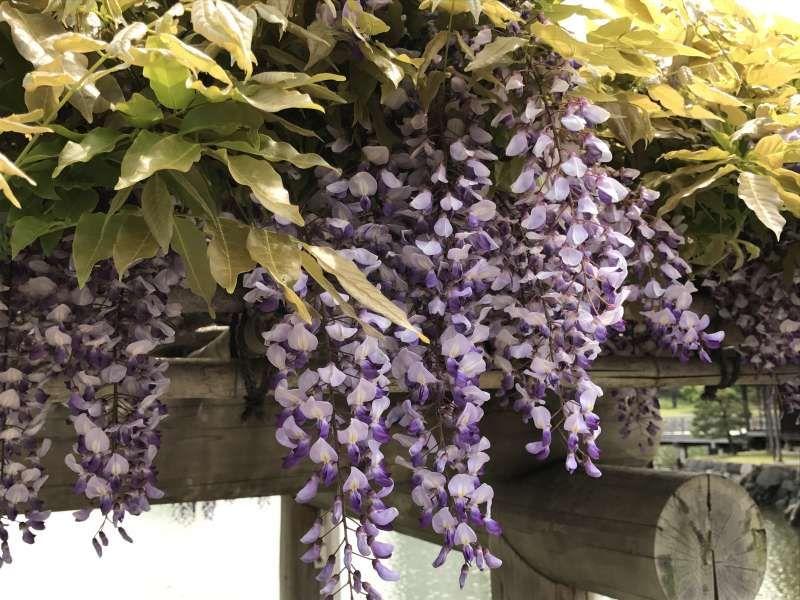 Wisteria flowers in Hamarikyu Garden
