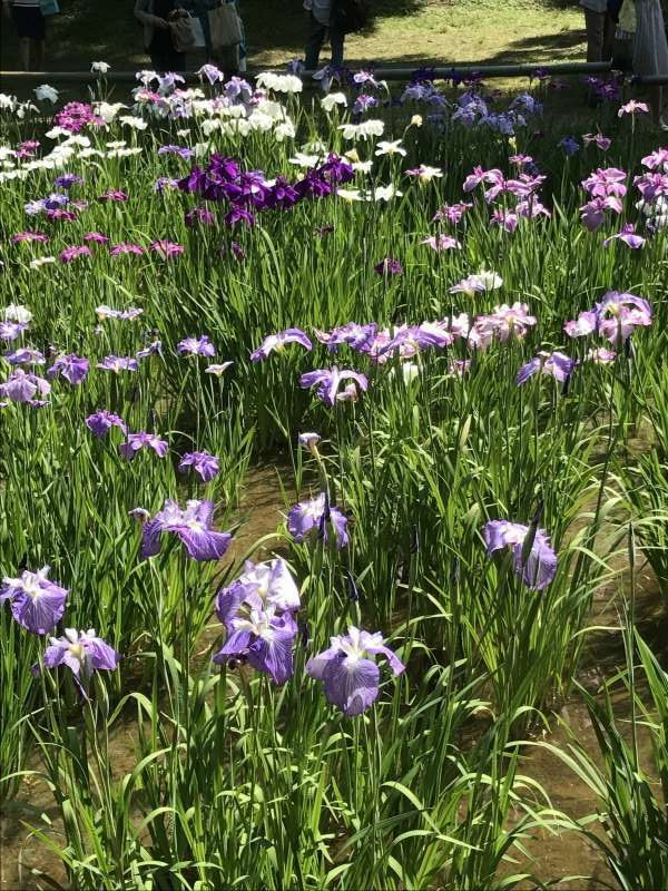 Iris flowers at Meiji Shrine