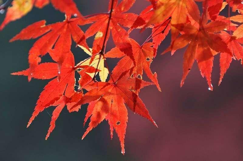 Color de otoño. En Tokio.