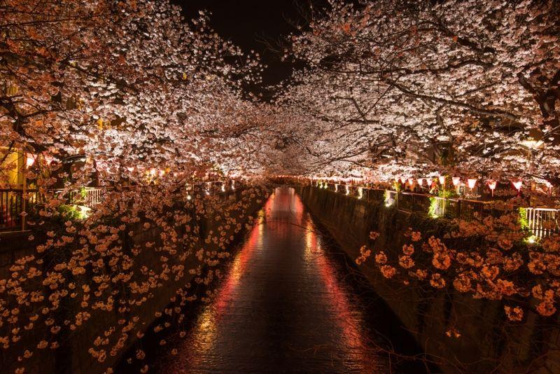 Flores de la primavera, Cerezos
