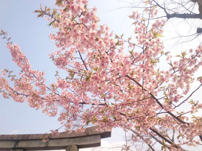 March-cherry in KYOTO