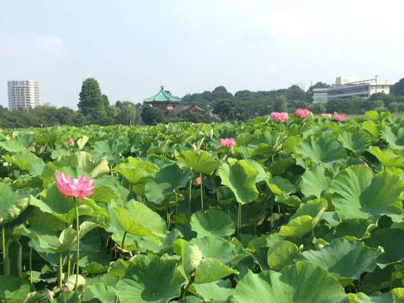 Lotus leaves in SHINOBAZU-NO-IKE pond in Ueno park. The pond changed the view dramatically from a clear pond to a jungle of enormous leaves in a month of June.