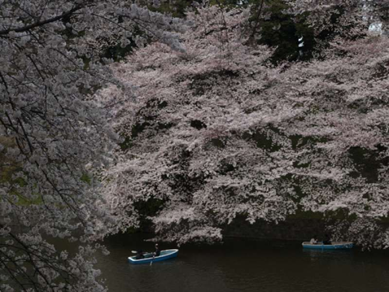 Flowering Cherry Blossoms above the Castle Moat