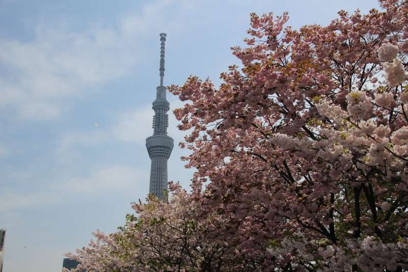 Tokyo Sky Tree and cherry blossoms in Sumida Park in Asakusa