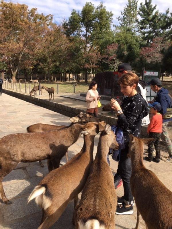 Lady enjoying feeding a herd of wild deer in Nara Park