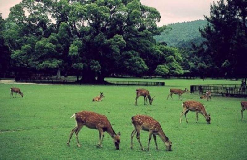 Herd of wild deer in Nara Park, regarded as a messenger of the deities enshrined in Kasuga Grand Shrine