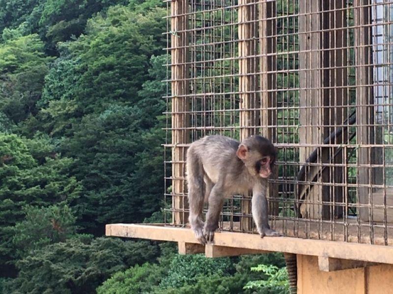 Little rascal at Kyoto's Iwatayama Monkey Park near Arashiyama Bamboo Forest. Over 10 monkeys are born every year.
