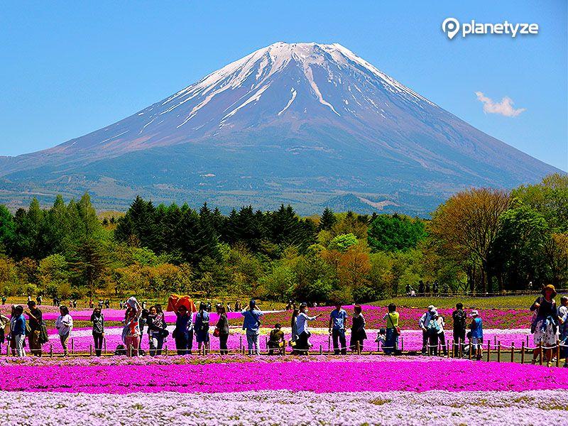 Shibazakura Festival (Moss Pink)