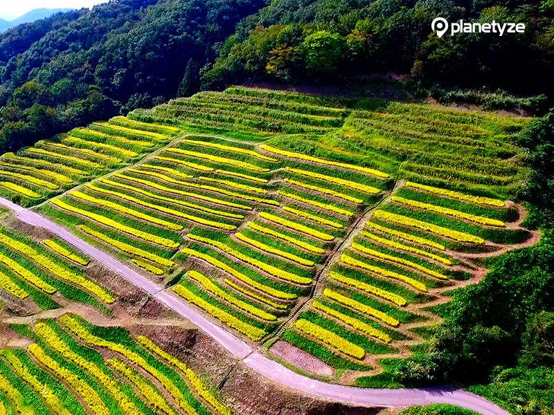 Ogura Senmaida (Terraced Rice Fields)