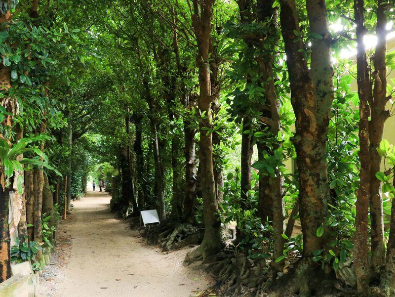 Bise Fukugi Trees