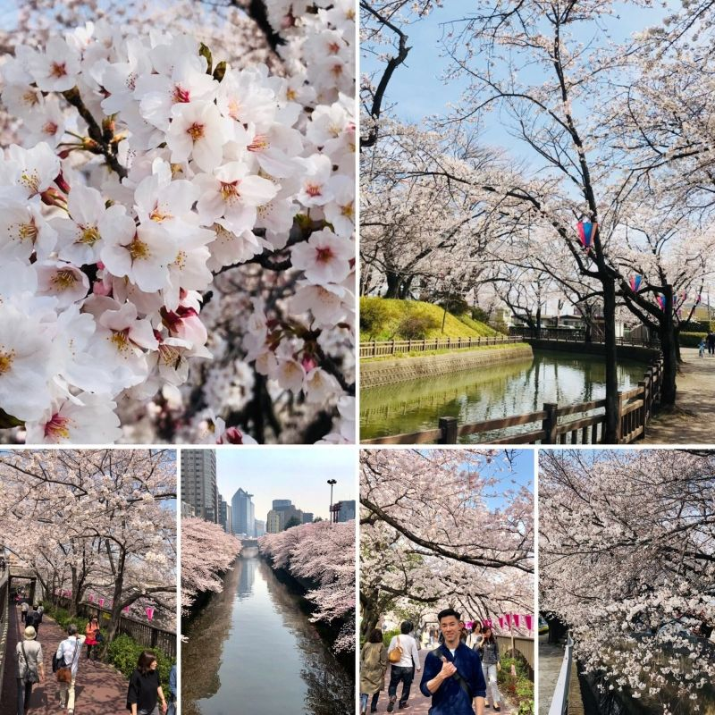 MEGURO: one of the best areas to see cherry blossom in TOKYO.