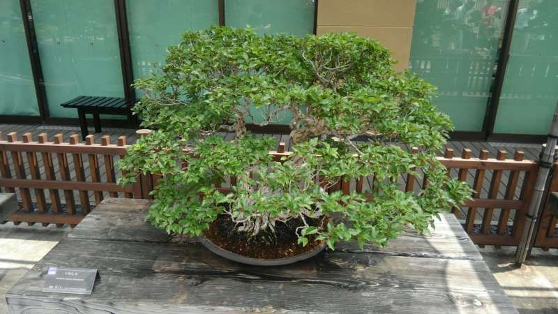 Bonsai or potted tree