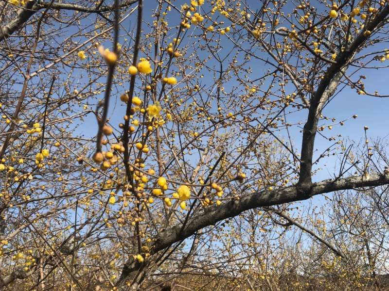 Fragrant Wintersweet in Early Spring