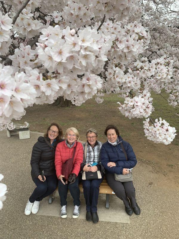 Beautiful cherry blossoms at Shinjuku Gyoen