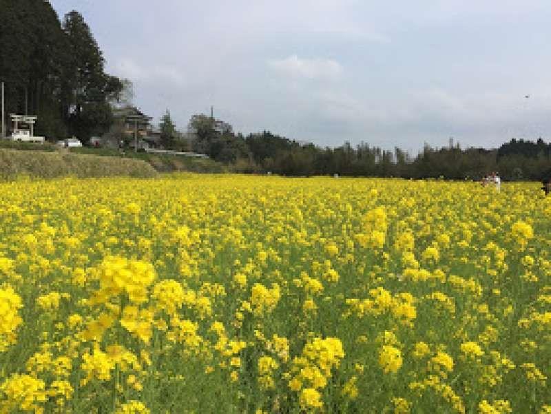 rape blossoms in Chiba