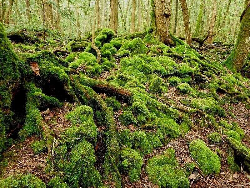 Moss art in Aokigahara Forest