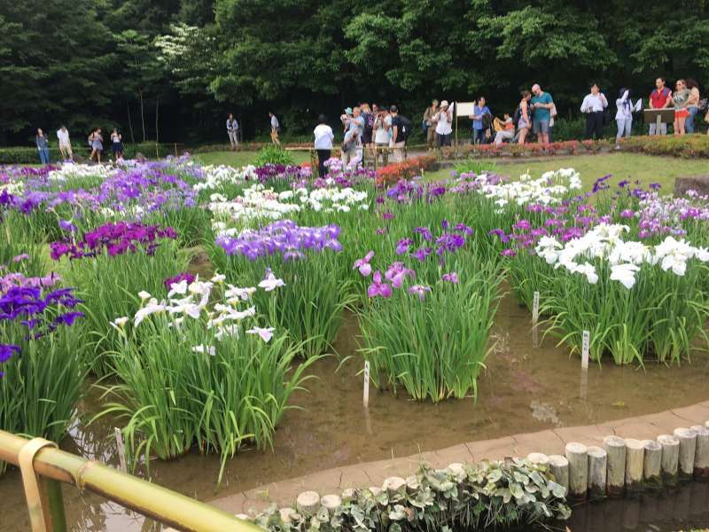 Irises in Ninomaru  Garden of East Garden, Imperial Palece