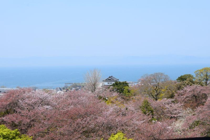 El Castillo de Hikone (Shiga), en la epoca de cerezo en flor