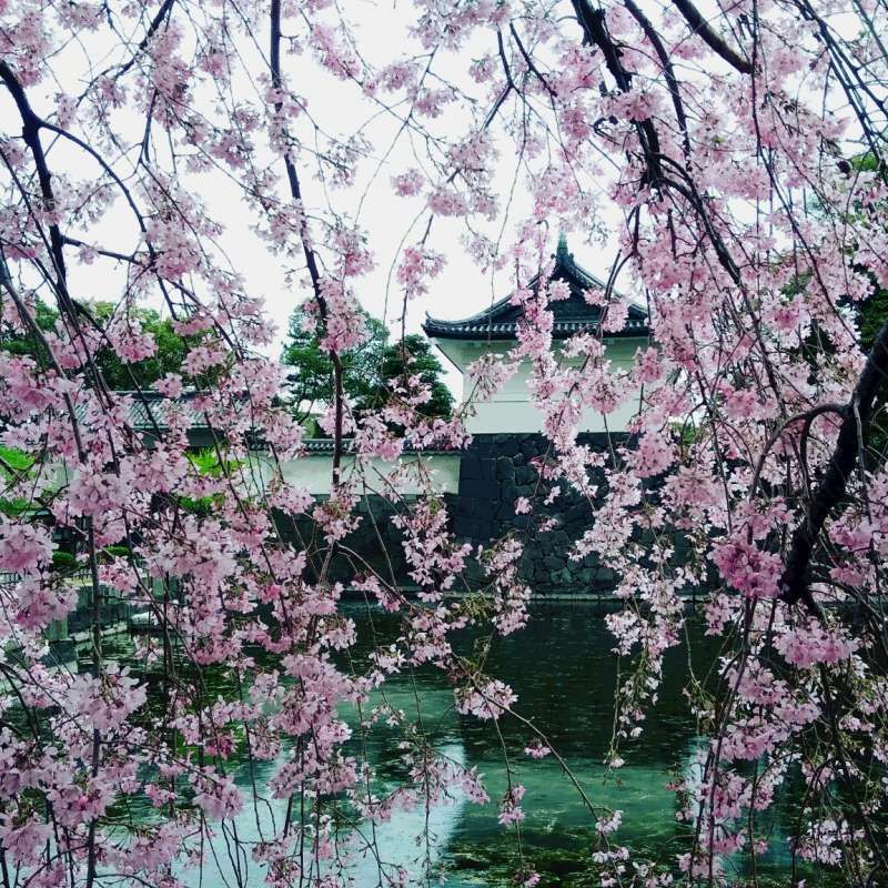 Imperial palace moat with cherry blossom