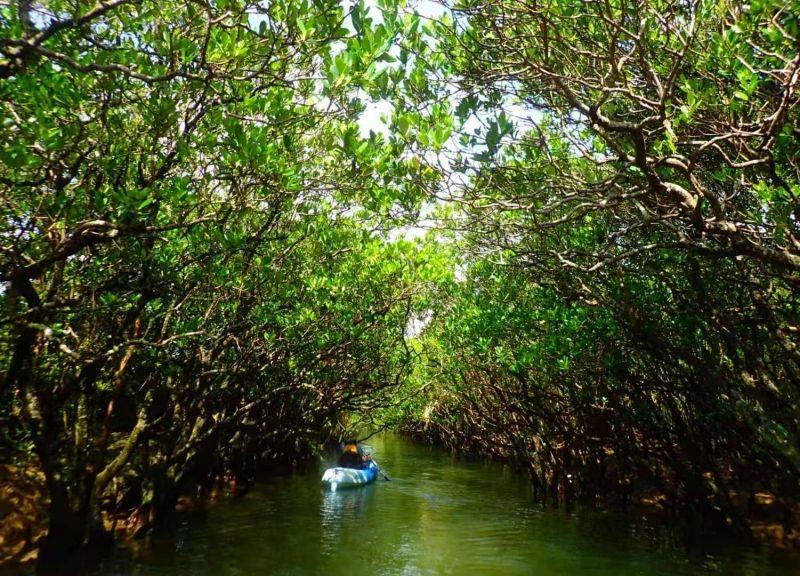 紅樹林中划艇漫游,奄美大島和種子島都能體驗 Canoe in a mangrove forest, you can experience in Amami or Tanega island
