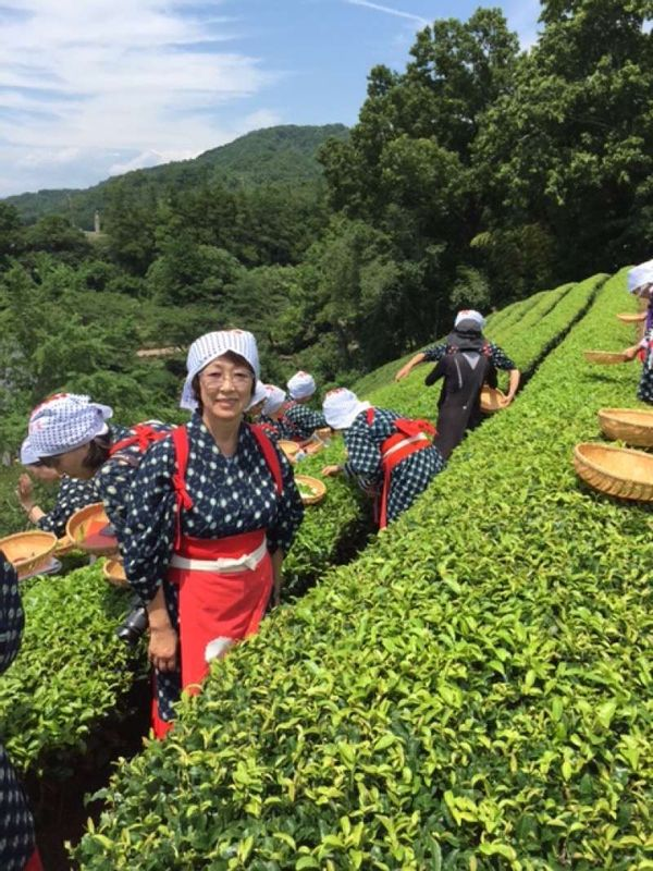 Tea picking experience wearing a traditional Kimono in Shizuoka Prefecture. Tea leaves are harvested three times a year from May to August in Shizuoka.