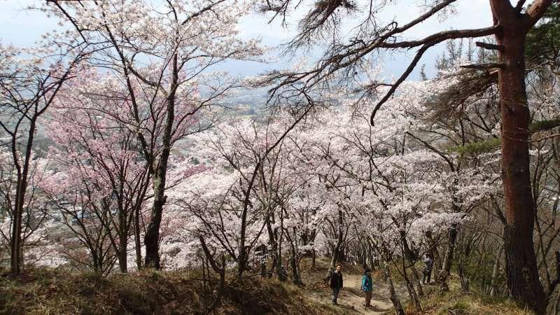 Sakura hiking
