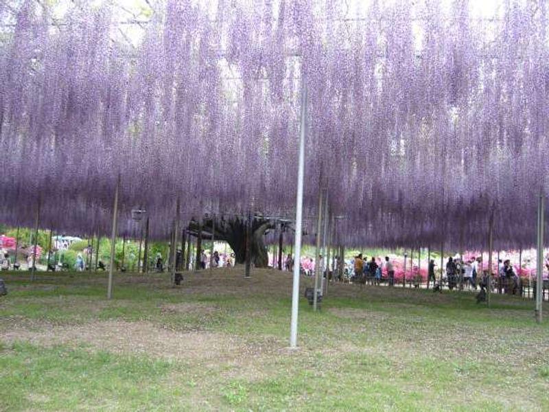 Beautiful wisteria in Ashikaga Flower Park