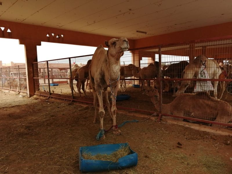 Al-Ain Camel Market