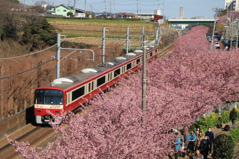 Cherry blossoms along train in Miura, Kanagawa