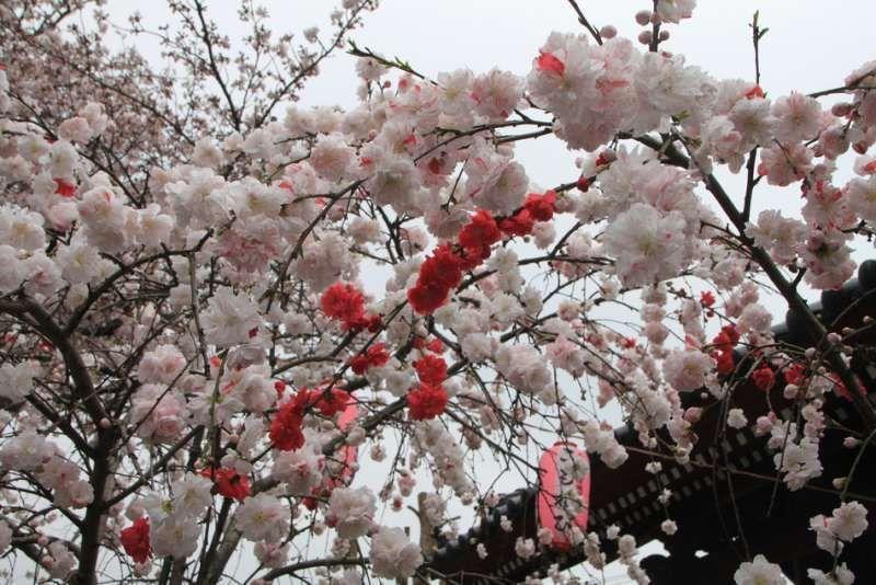 Pink & white combination blossoms of weeping peach at Shomyo-ji temple, Yokohama, Kanagawa