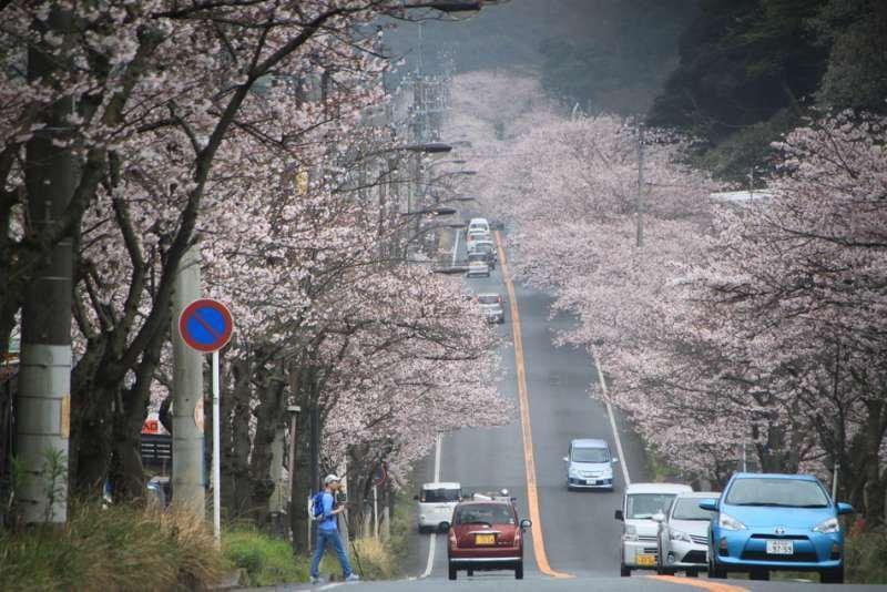 Cherry blossoms in Takeyama, Yokosuka, Kanagawa