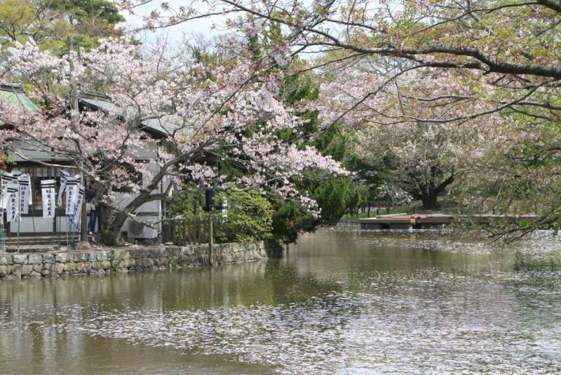 Cherry blossoms at Tsurugaoka-Hachimangu shrine, Kamakura, Kanagawa