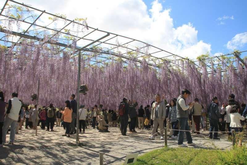 Wisteria flowers at Ashikaga Flower Park, Ashikaga, Gunma