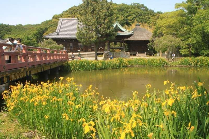 Yellow iris at Shomyo-ji temple, Yokohama, Kanagawa