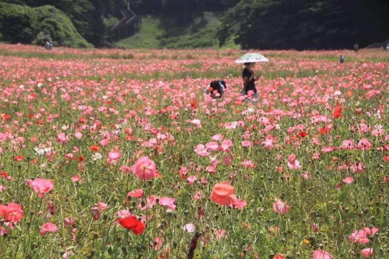 Poppy flowers festival at Kurihama Flower Park, Yokosuka, Kanagawa