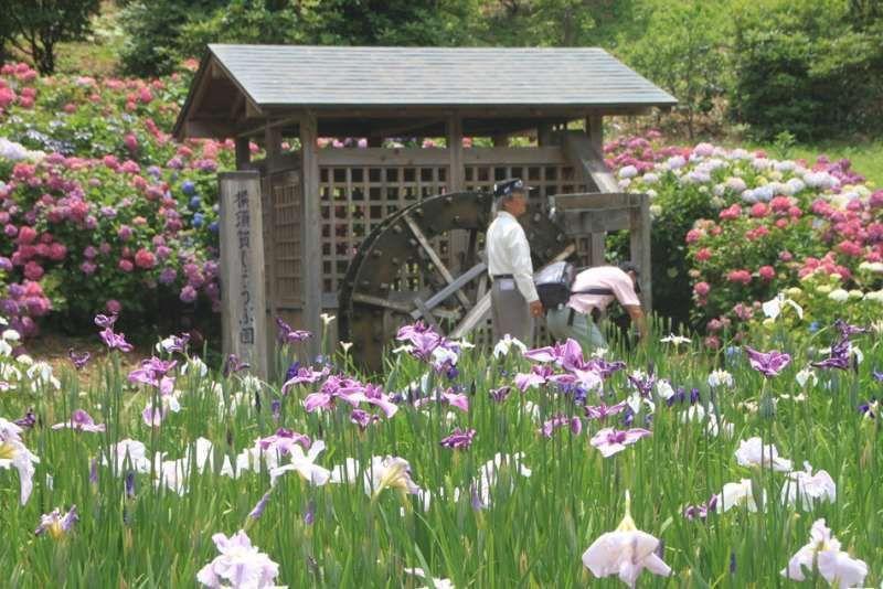 Iris flowers at Yokosuka Iris garden, Yokosuka, Kanagawa