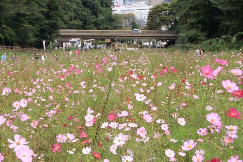 Cosmos flowers at Kurihama Flower Park, Yokosuka, Kanagawa